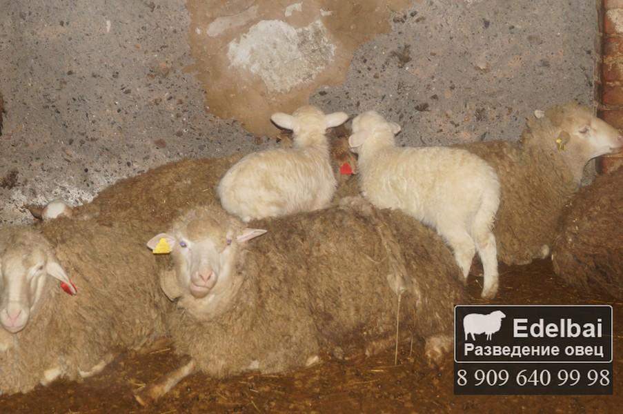 Окот овец и выращивание ягнят 86