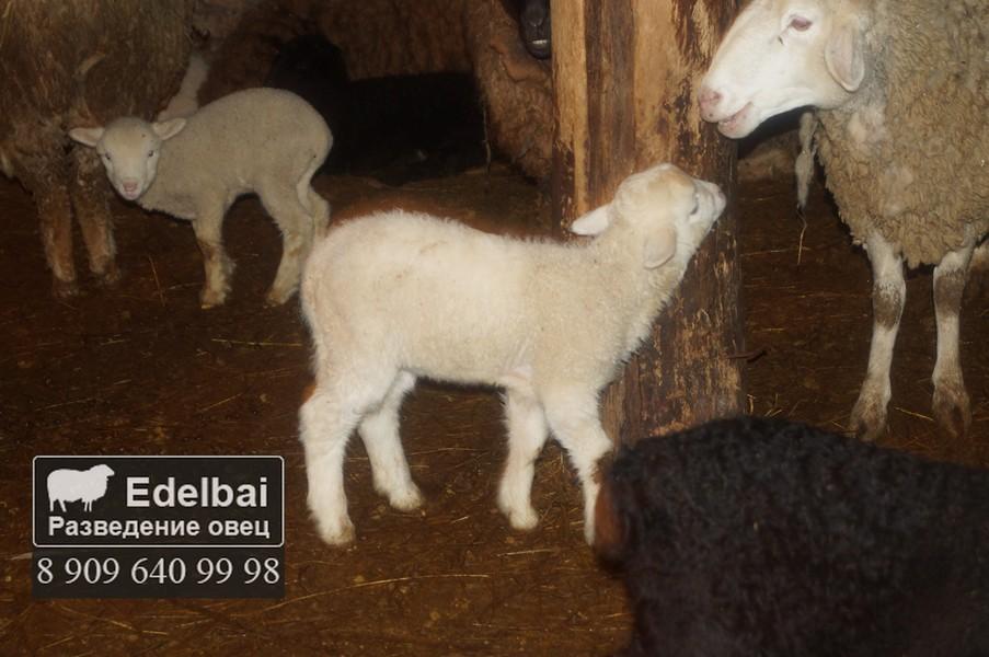 Окот овец и выращивание ягнят 91