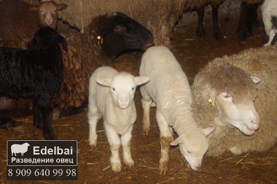 Как развести овцы в домашних условиях 748