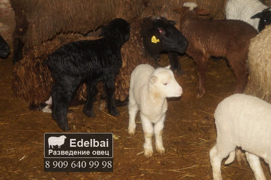 Окот овец и выращивание ягнят 68