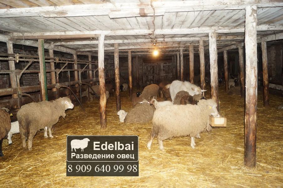 Как развести овцы в домашних условиях 388